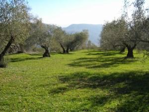 olivar ecologico